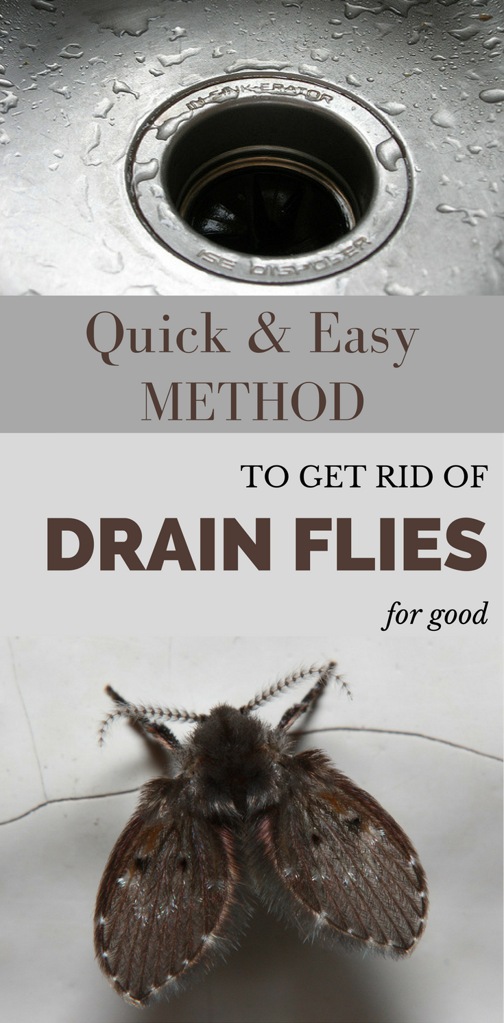 Quick And Easy Method To Get Rid Of Drain Flies For Good