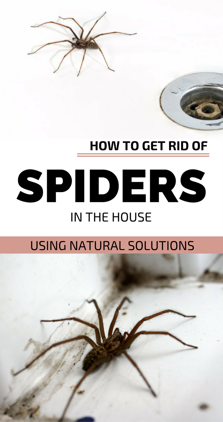How to get rid of spiders in the house using natural for How to get rid of spiders in the house uk