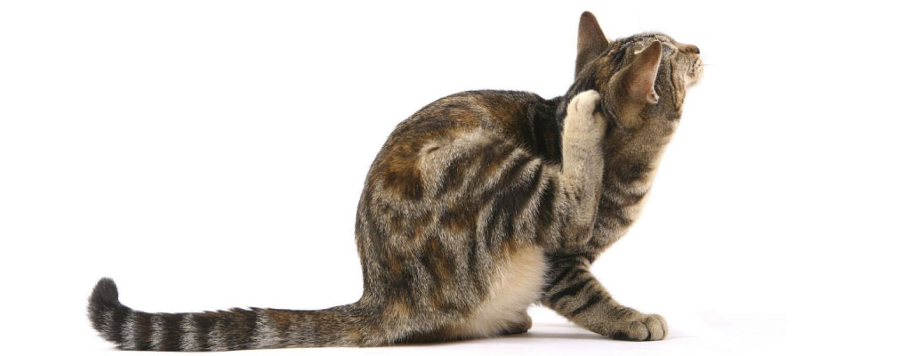 How To Get Rid Of Fleas On Cats Easily
